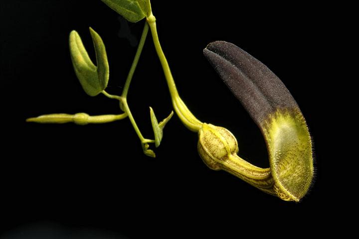 Aristolochia Postrer Rio1