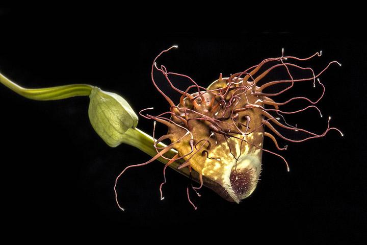 Aristolochia sp. medusa (Cuba)